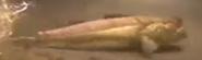 Zoboomafoo Mudskipper