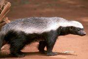 1-honey-badger-moswe590a.jpg