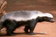 1-honey-badger-moswe590a