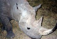 1200px-Black Rhinoceros in Sweetwater Nat Park Kenya
