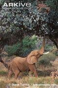 African-elephant-feeding