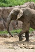 African Elephant LG