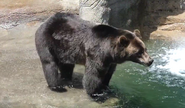 Cleveland Zoo Grizzly V2