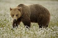 Eurasian Brown Bear Sow