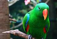 Parrot, Eclectus