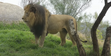 San Diego Zoo Safari Park Lion