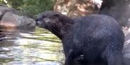 Smithsonian Zoo Otter