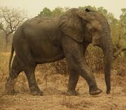 West African Bush Elephant