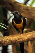 Cincinnati Zoo Starling
