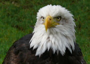 Eagle (Bird).jpg