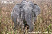 Female Indian Elephant.jpg
