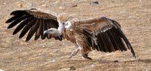 Himalayan Vulture running.jpg