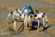 Light-Blue Soldier Crab