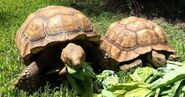 Male and Female African Spurred Tortoises