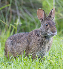 Marsh-Rabbit.jpg