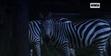Singapore Zoo Zebra
