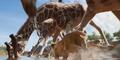 TLK 2019 Giraffes