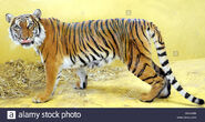 Tiger, Malayan (V2)