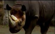 Misleading Rhinoceros African Elephant and Nile Hippopotamus