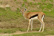 Eastern Thomson's Gazelle