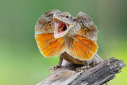 Frilled lizard (Chlamydosaurus kingii)