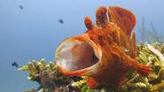 Frogfish-Yawning-at-Racha-Noi-Phuket