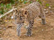 Indian Leopard Cub