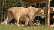 Maryland Zoo Lioness