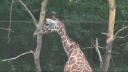 Minnesota Zoo Giraffe