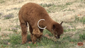 Oklahoma City Zoo Alpaca