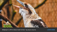 Virginia Zoo Kookaburra