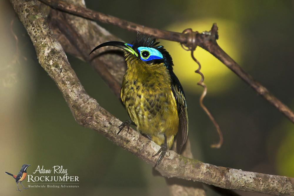 Common Sunbird-Asity