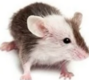 Barbour's Rock Mouse.png.png