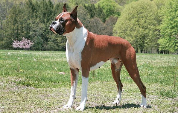 Boxer (dog breed)