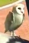 Common-barn-owl-zootycoon3
