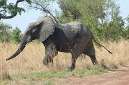 Elephant, West African Bush