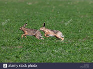 European Rabbit Buck and Doe