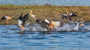 Flock of Egyptian Geese
