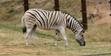 Fresno Chaffe Zoo Zebra