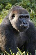 Gorilla LG