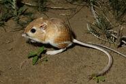 Kangaroo Rat, Desert