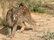 Lynx, Iberian.jpg