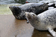 Male and Female Harbor Seals