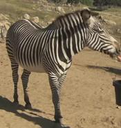 San Diego Zoo Safari Park Grévy's Zebra