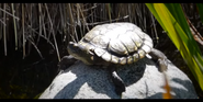 San Diego Zoo Turtle