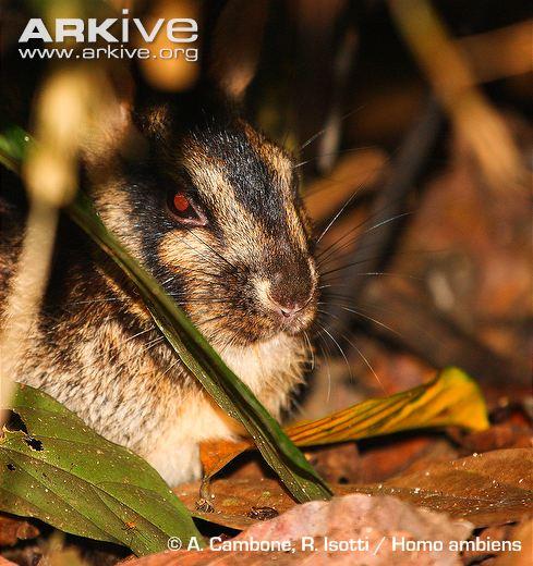 Sumatran Striped Rabbit