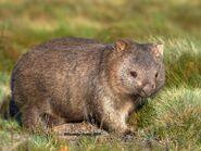 Wombat, Common (V2)
