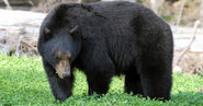 American black bear (Ursus americanus)