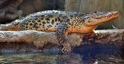 Cuban Crocodile.jpg