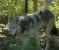 Dickerson Park Zoo Grey Wolf
